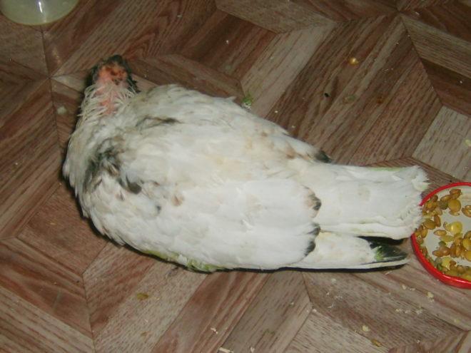 pasărea are boală articulară