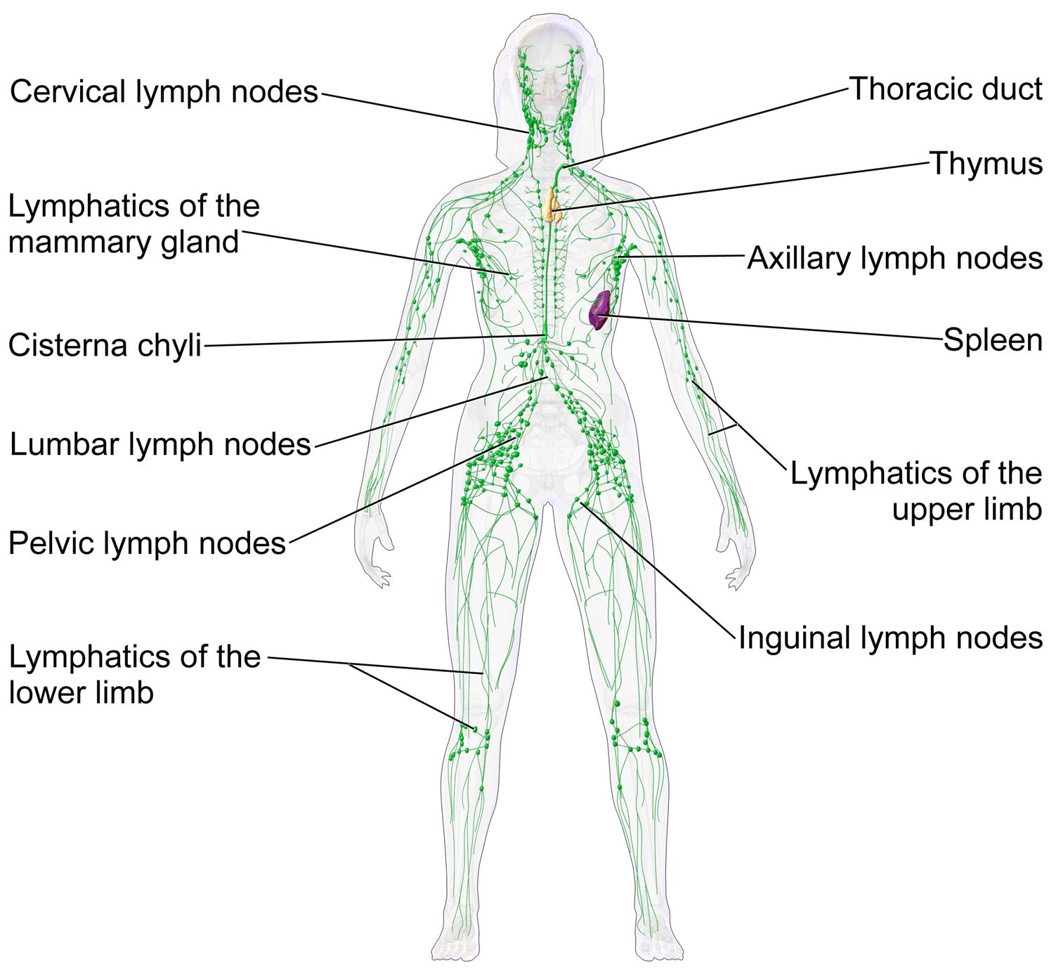 Durere la nivelul ganglionilor și articulațiilor limfatice