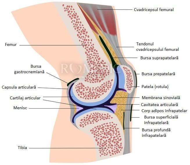 Fiziopatologia articulatiei genunchiului – privire de sinteza - Revista Galenus