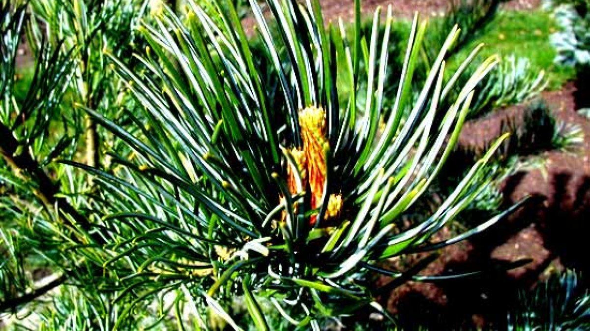 Infuzie de pin pentru tratamentul articular, Reduceti durerile articulare cu plante!