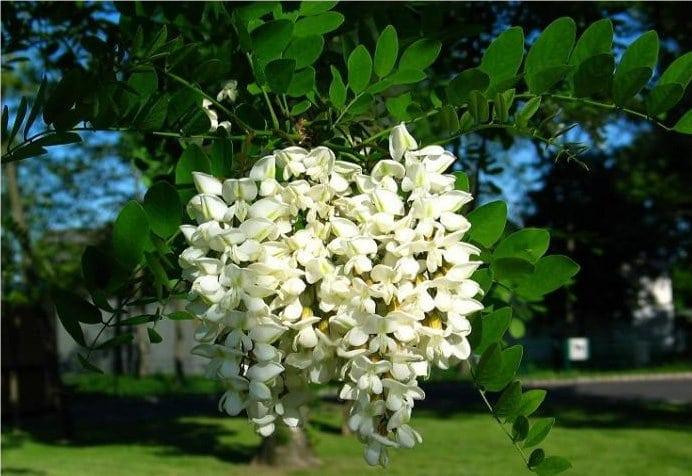 Flori de salcâm alb pentru dureri articulare. Flori de salcâm alb cu vene varicoase