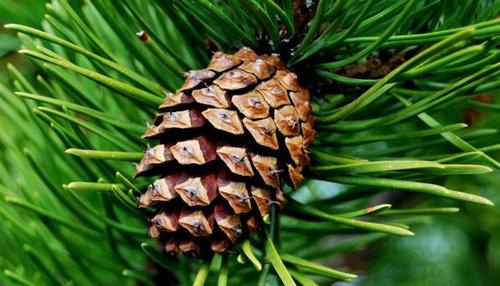 Tinctura de conuri de pin: utilizare și contraindicații