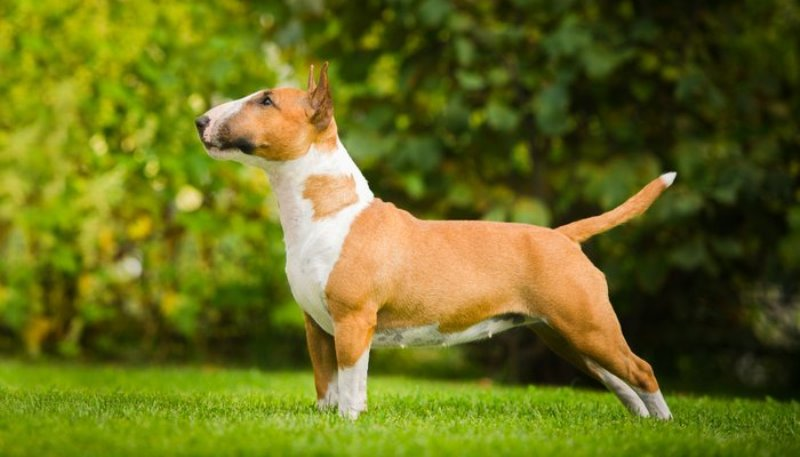 Fox Terrier, un catel indiscret si activ - Veterinarul Pet