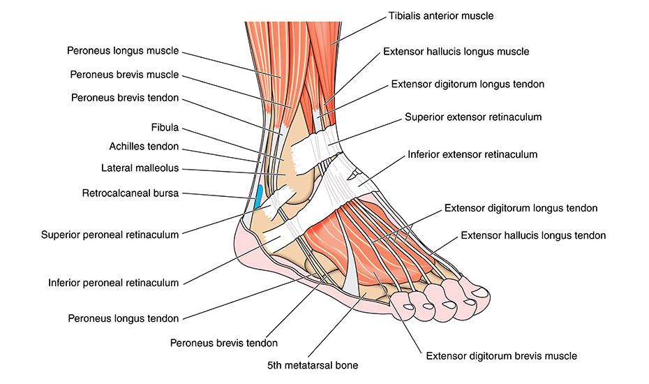 boala și tratamentul articulației gleznei