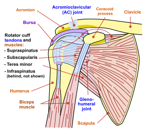 articulațiile umărului și genunchiului