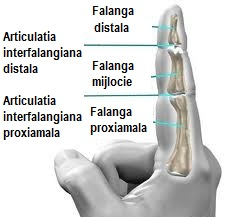 Dureri articulatii interfalangiene, subiecte în health