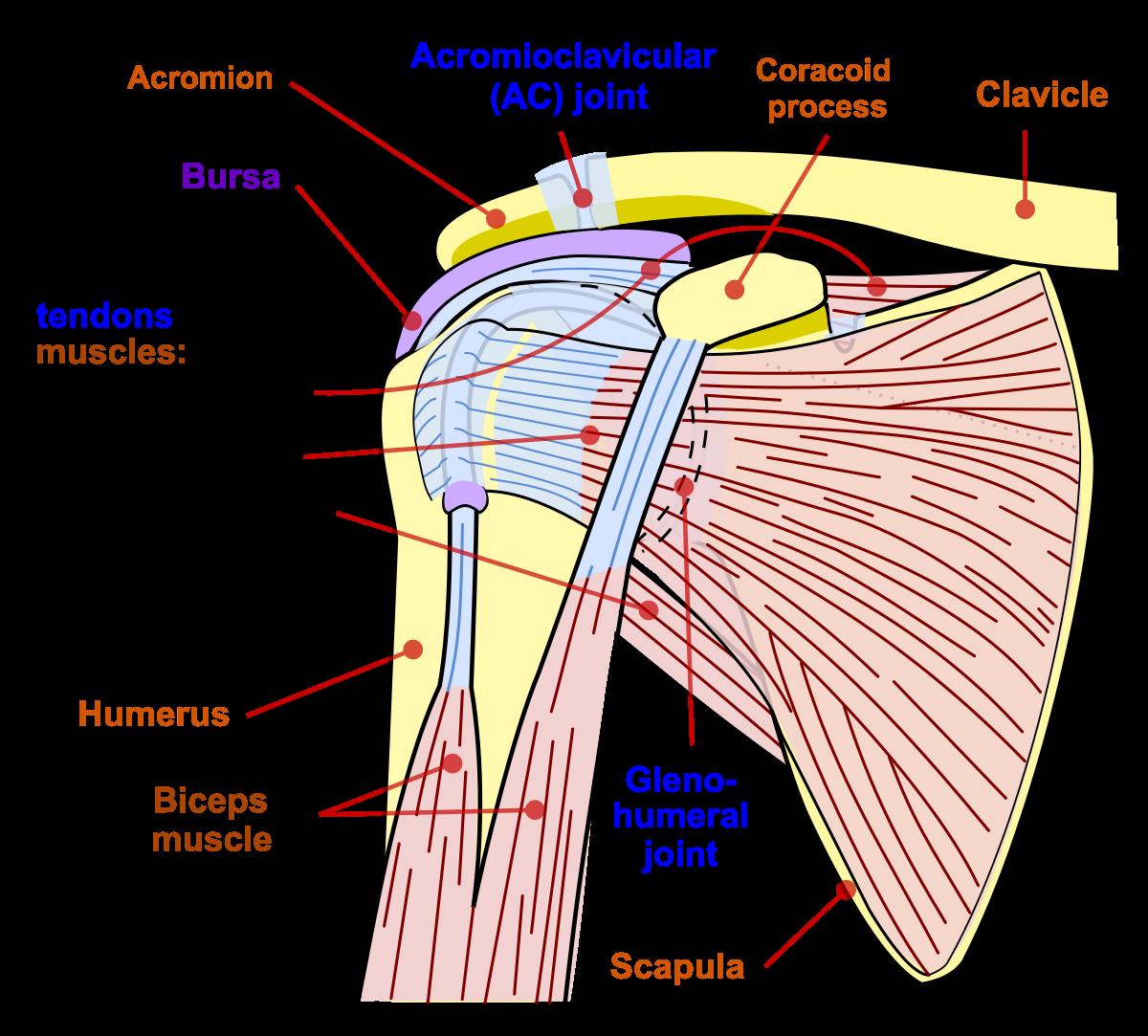 Dislocarea articulației umărului - Rănire