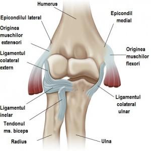 dureri musculare ale articulațiilor umărului artrita și artroza articulațiilor piciorului