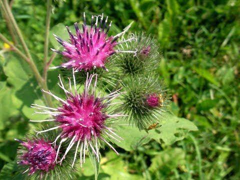 semințe de brusture pentru dureri articulare
