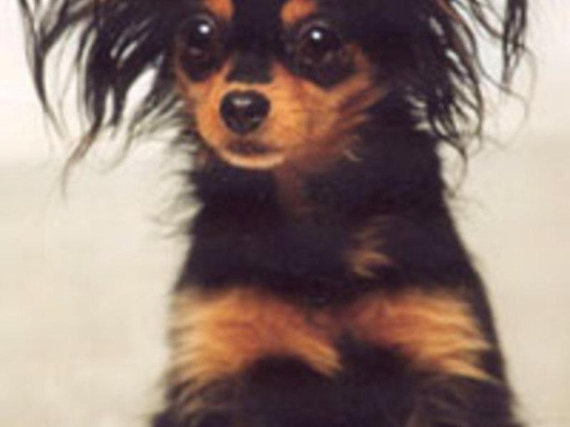 Terrier Dandie Dinmont: Caracteristici rasă câine